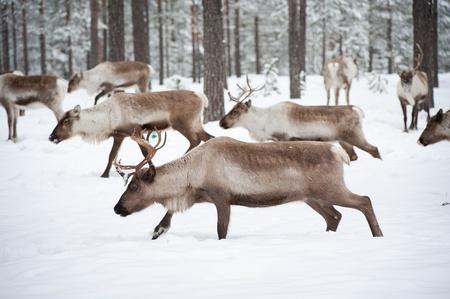 reindeer in its natural winter habitat in the north of Sweden photo