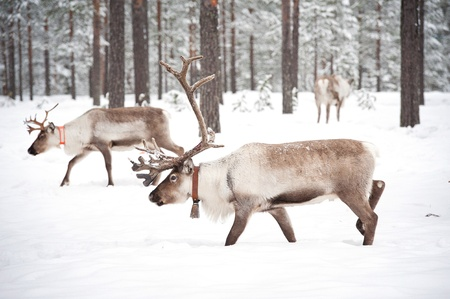 reindeer in its natural winter habitat in the north of Sweden Stock Photo - 13068907