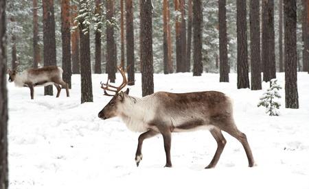 reindeer in its natural winter habitat in the north of Sweden Stock Photo - 13068819