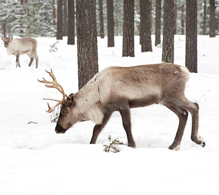 caribou: reindeer in its natural winter habitat in the north of Sweden