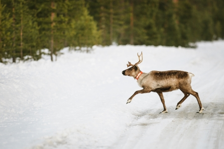 caribou: Reindeer in its natural habitat in the north of Sweden