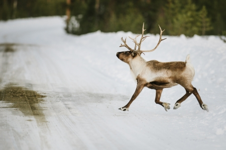 Reindeer in its natural habitat in the north of Sweden photo