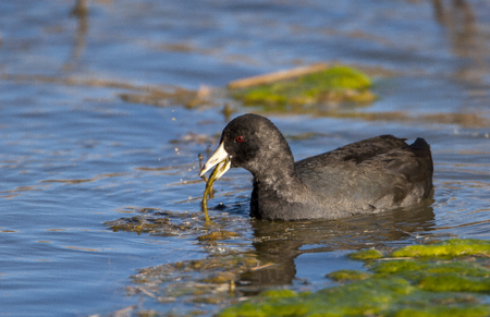 American coot in pond eating aquatic plants with algae and other plants