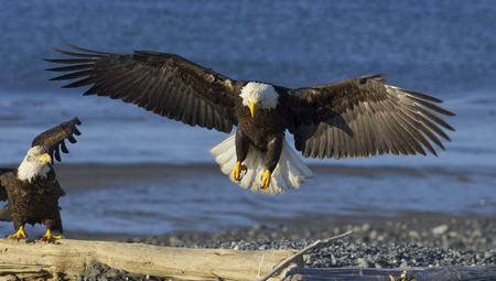 Alaskan Bald Eagle landing on beach with blue water background and wings spread wide