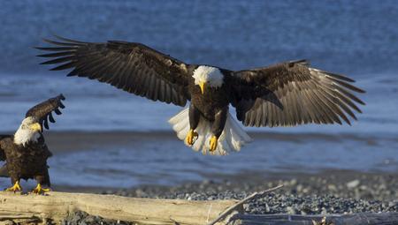 Kale Adelaar die van Alaska op strand met blauwe waterachtergrond landen en vleugels wijd uitspreiden Stockfoto - 78136511