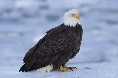 homer: Bald eagle standing on ice in bay Stock Photo