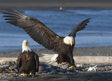 Bald eagle approaches log with wings outstretched