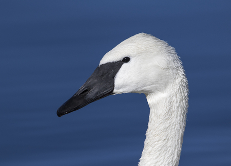 Trumpeter swan portrait with blue pond Stock Photo