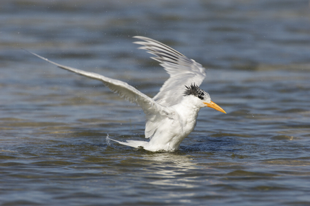Royal Tern, Sterna maxima, on beach with blue shallow water in background with wings out of take-off or landing