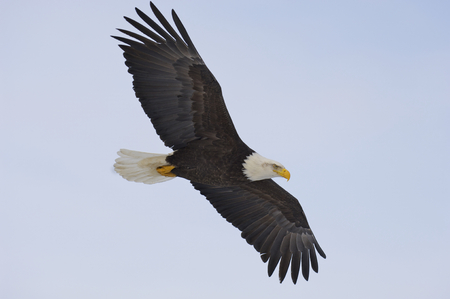 Alaskan Bald Eagle flying with blue sky Stock Photo