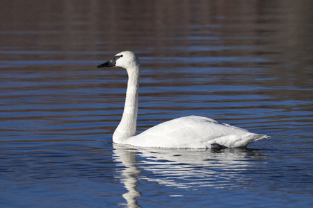 Trumpeter swan swimming in pond