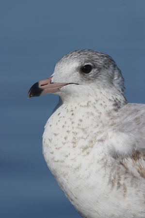 Mew Gull, Larus canus, portrait on beach with blue water background