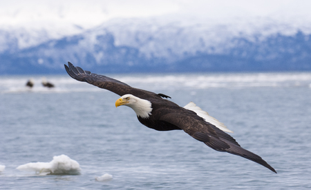 Bald eagle flying with  over the bay with ice in water