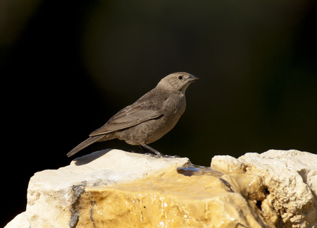 Brown-headed cowbird on rocks Stock Photo