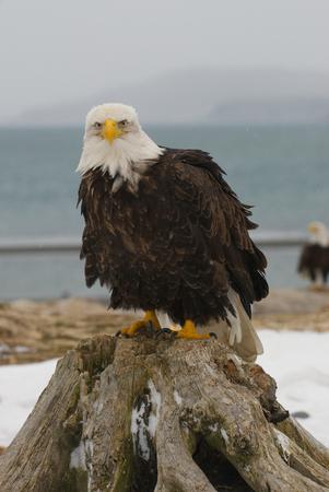 Alaskan Bald Eagle, Haliaeetus leucocephalus, on log on beach with blue water background