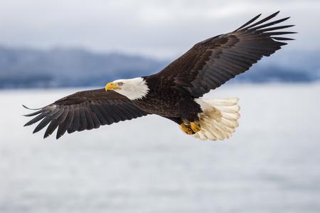 Bald eagle soaring over icy bay in Alaska