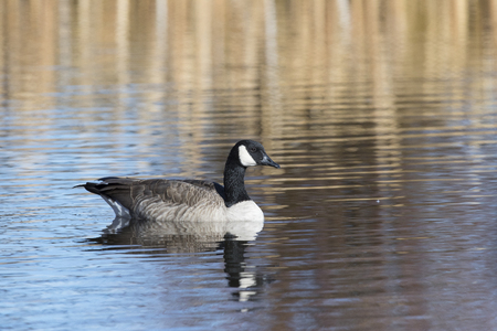 Canada goose swimming on water at National Elk Refuge Stock Photo