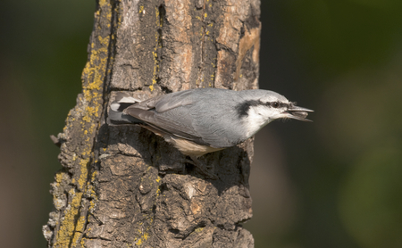 sunflower seeds: Eurasian nuthatch with seed on side of tree bark Stock Photo
