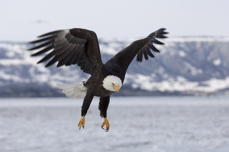 Bald eagle approaching for landing on ice in bay