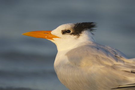 royal: Royal Tern, Sterna maxima, on beach with blue shallow water in background
