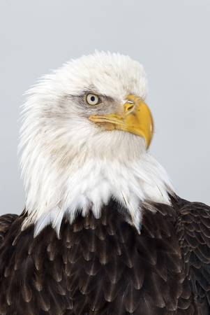 Bald eagle portrait of head and shoulders