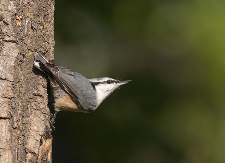 Eurasian nuthatch on side of tree bark looking