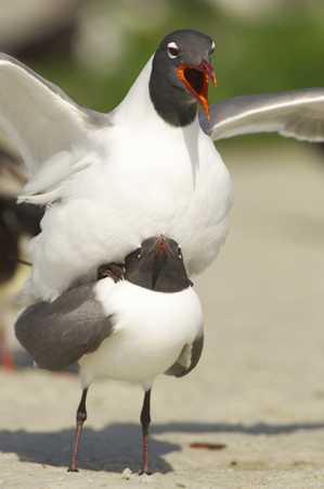 Laughing Gull, Larus atricilla, mating on tan sanding beach