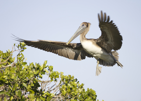 Brown Pelican, Pelecanus occidentalis, landing on mangrove rookery island with blue sky background