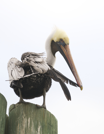 Brown Pelican, Pelecanus occidentalis, on wooden piling preening with blue sky background Stock Photo - 78141210