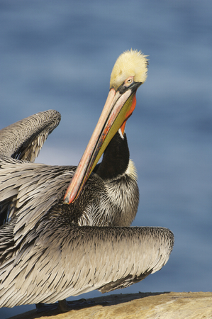 Endangered California Brown Pelican, Pelecanus occidentalis, preening on cliff rocks with wings stretched, stretched Stock Photo