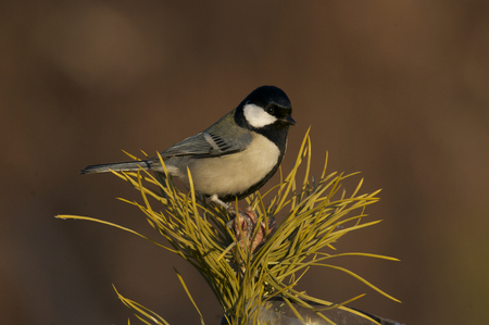 Great Tit, Parus major, on top of a pine tree 免版税图像