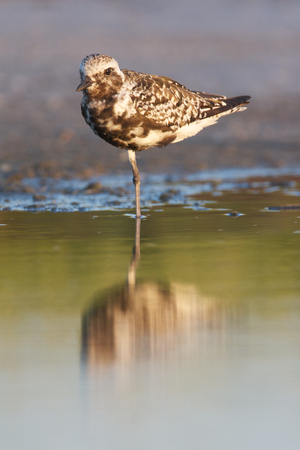 Black-bellied Plover, Pluvialis squatorola, on dark gray to brown beach sand and water with reflection Stock Photo
