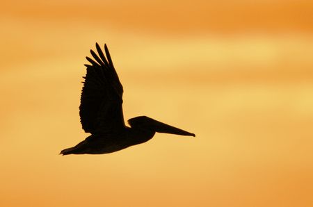 Brown Pelican in flight with orange sunset or sunrise background