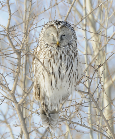 Getting the Evil Eye from Ural Owl