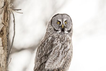 Portrait of Great Grey Owl mit Himmel Hintergrund im Winter