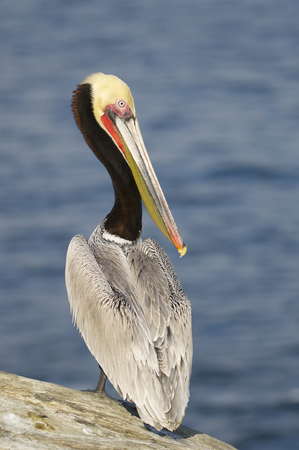 Endangered California Brown Pelican, Pelecanus occidentalis,  on cliff rocks with wings folded Stock Photo
