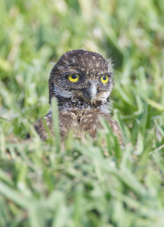 burrowing: Burrowing Owl, Athene cunicularia, baby owl in deep green grass Stock Photo