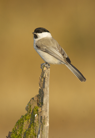 Willow Tit, Parus montanus, on thick branch with brown leaf background