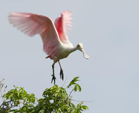 Roseate Spoonbill, Platalea ajaja, landing in tree