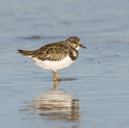 Ruddy Turnstone, Arenaria interpres, walking in shallow water with reflection