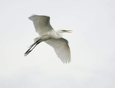 gray herons: Great Egret, Ardea alba, in flight from underside of wings with white or gray sky background