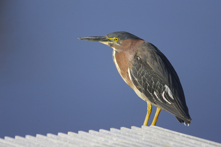 Green Heron, Butorides virescens, on concrete panel with blue water background Stock Photo