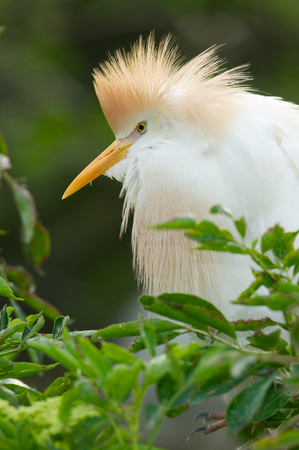 Cattle Egret, Bubulcus ibis, with breeding colors on nest with green background Stock Photo