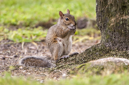 Eastern gray squirrel at base of oak tree eating acrons