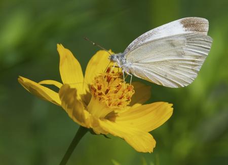 White Skipper Butterfly on yellow flower in garden Stock Photo