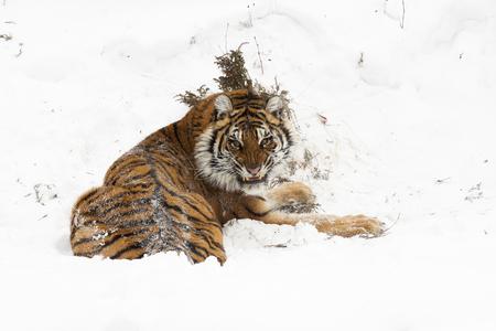 Amur (Siberian) tiger, angry, in deep snow, rear