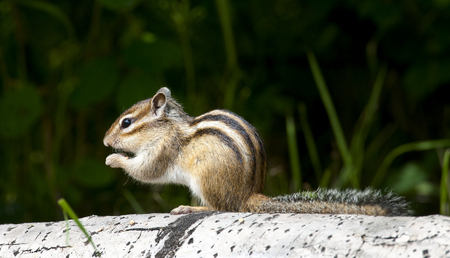 Siberian chipmunk eating on aspen log with grass