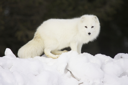 Arctic Fox in deep white snow viewed from the side Stock Photo