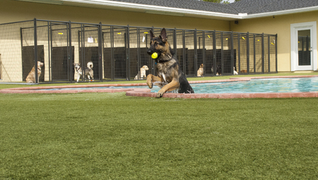 German shepard coming out of poos at doggie daycare with other dogs