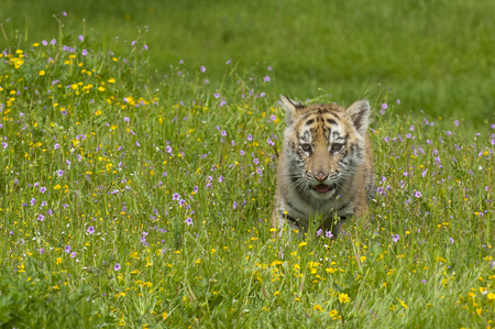 Amur (Siberian) tiger kitten playing in yellow and green flowers